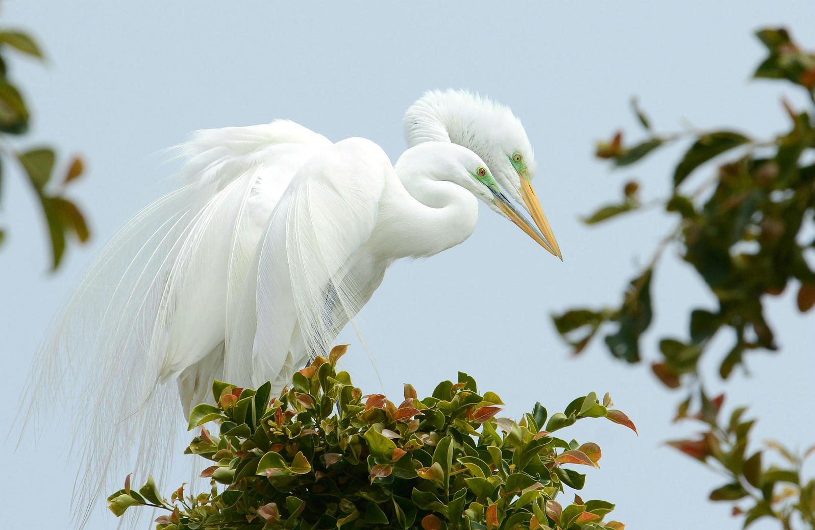 Great Egrets. Fraida Gutovich/Audubon Photography Awards