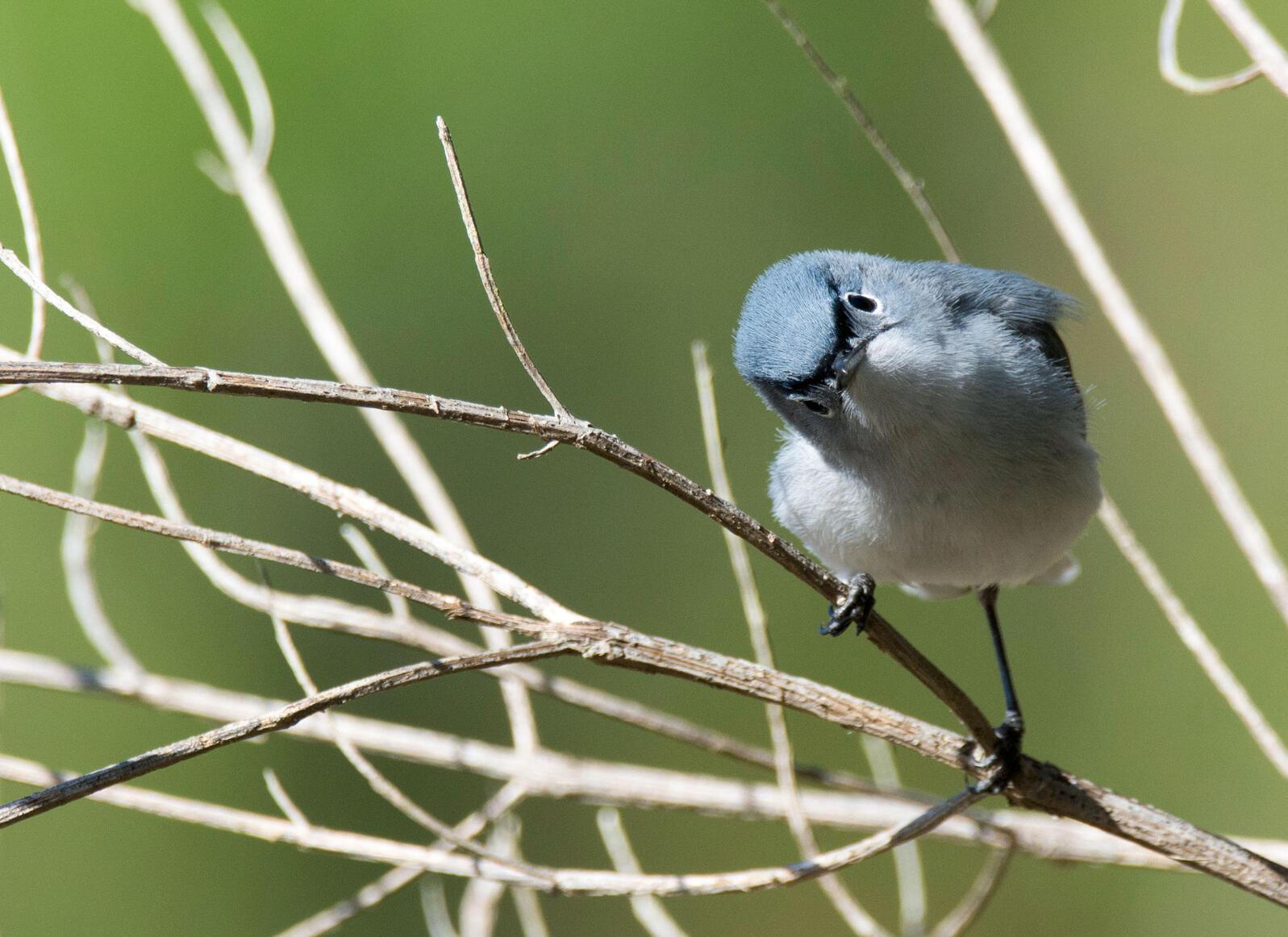 A Blue-gray Gnatcatcher puzzles over you as you puzzle over it. Jake Zadik/Audubon Photography Awards