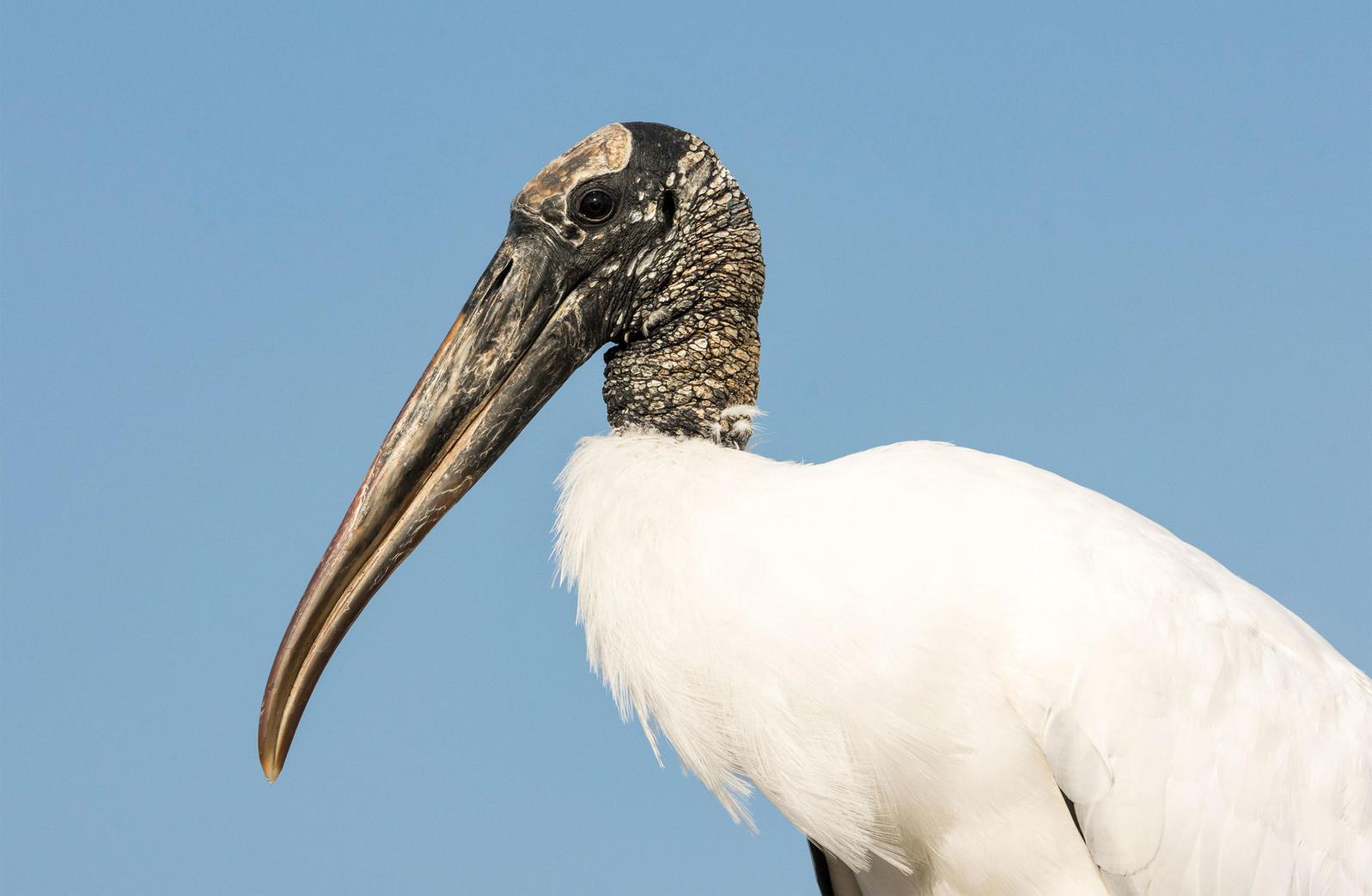 Wood Stork. Trudy Walden/Audubon Photography Awards
