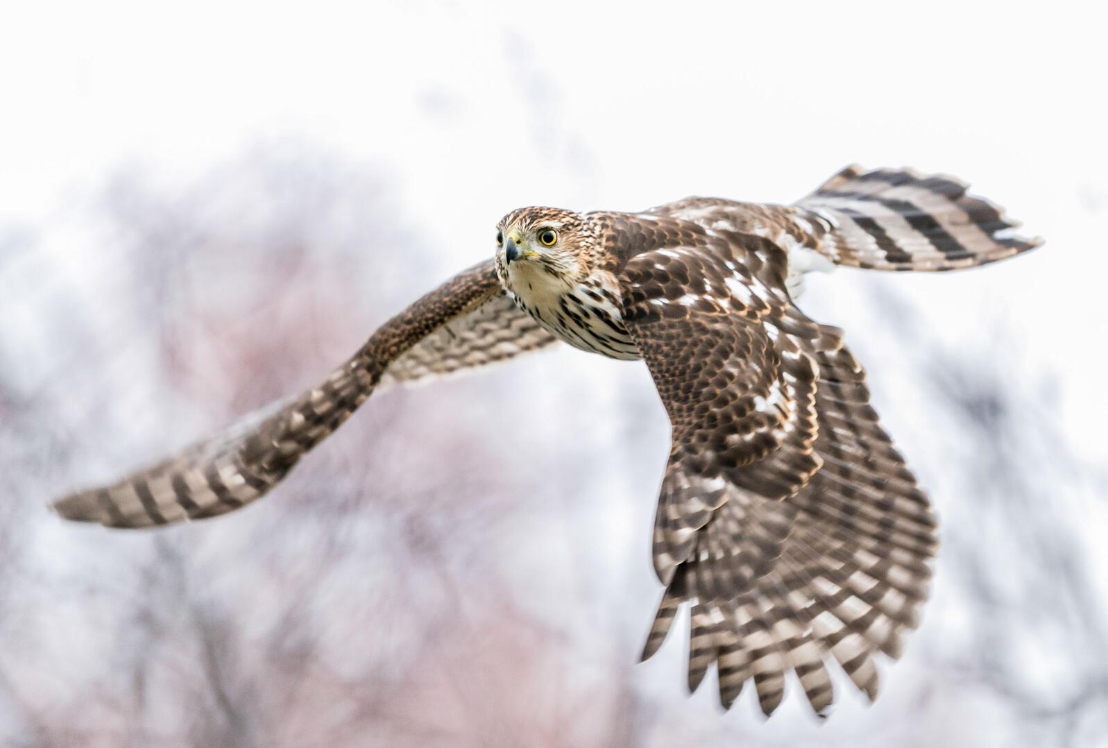 Cooper's Hawk. Jason Kandume/Audubon Photography Awards