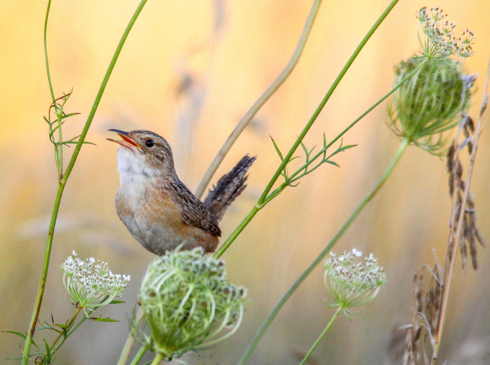 Sedge Wren. Ben Cvengros/Audubon Photography Awards