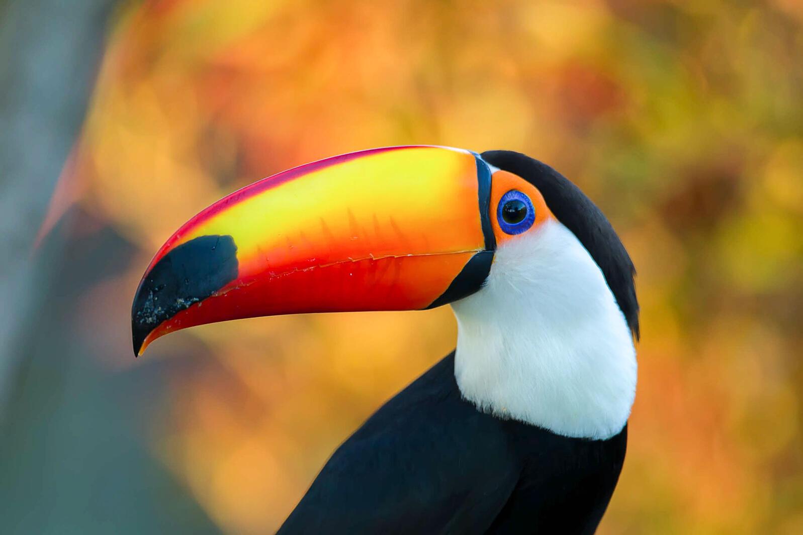 Toco Toucan. Peter Cavanagh/Audubon Photography Awards