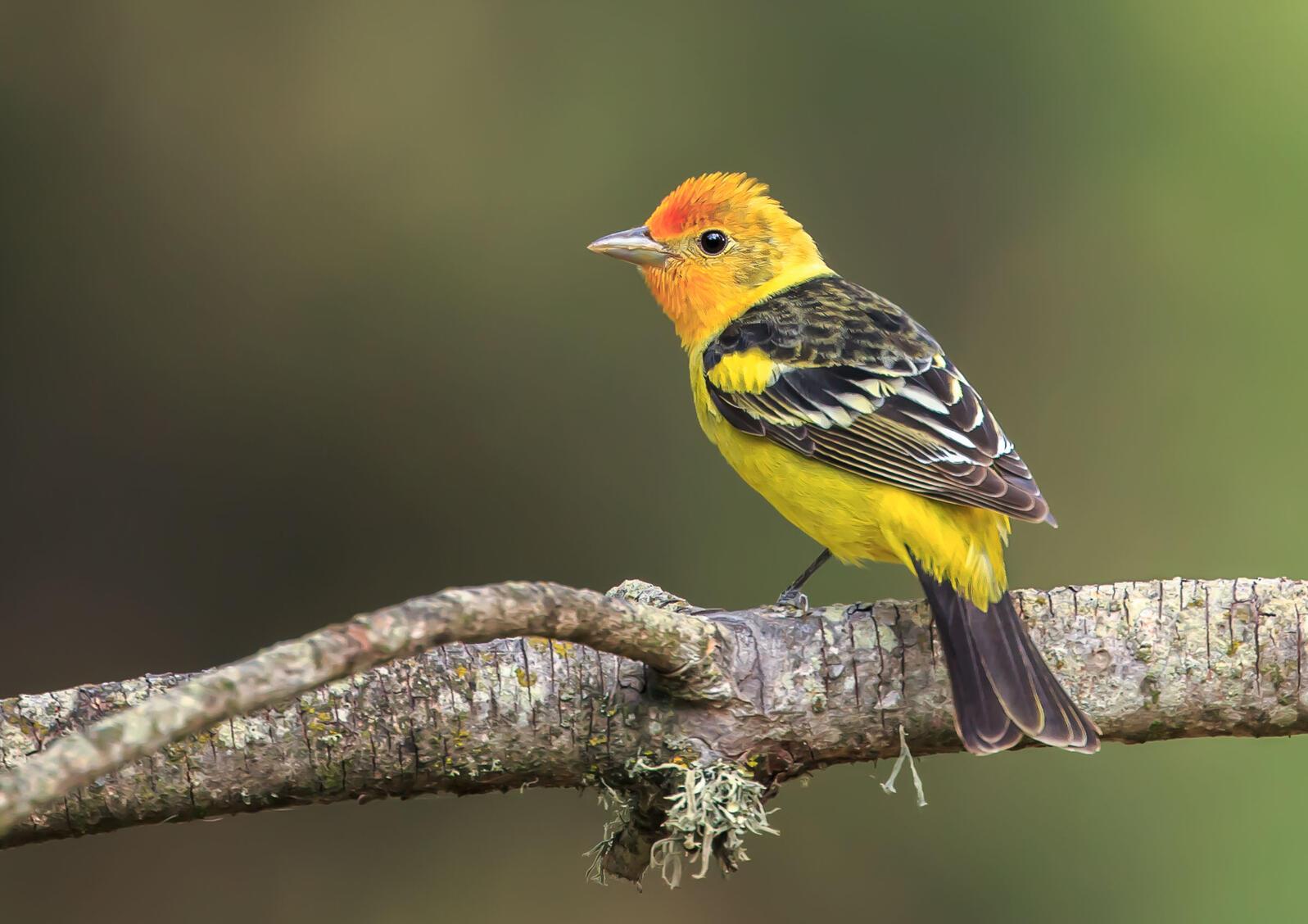 Western Tanager. Rick Derevan/Audubon Photography Awards