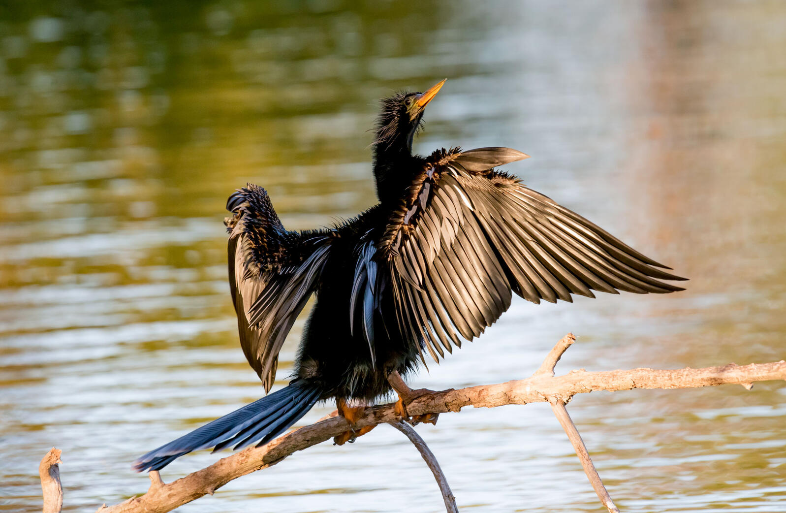 If the idea of an Anhinga living in the Grand Canyon sounds absurd, you might want to consider renowned ornithologist Kenn Kaufman's view. Rosemary Gillan/Audubon Photography Awards