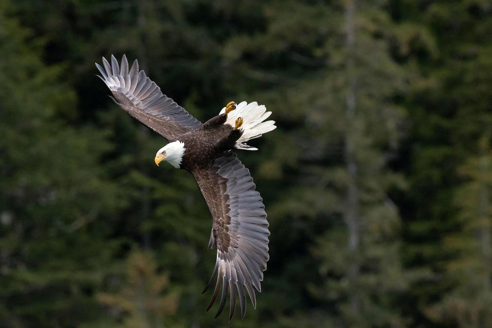 Bald Eagle. Howard Arndt/Audubon Photography Awards