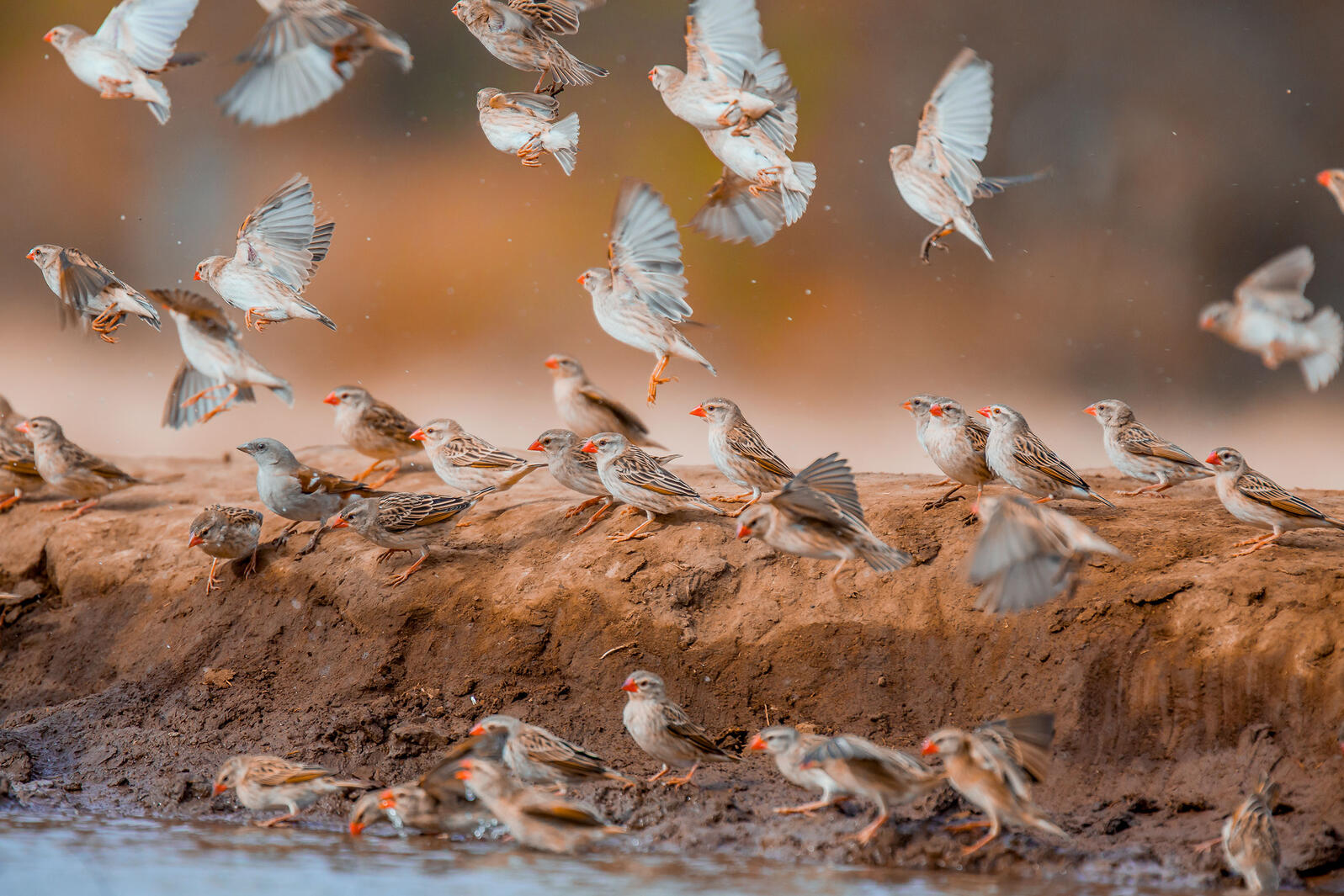 Red-billed Quelea and Southern Gray-headed Sparrow. Ali Dhanji/Audubon Photography Awards