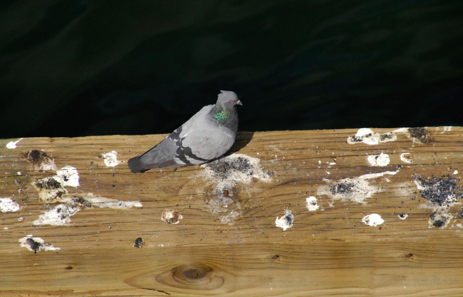 Rock Pigeon. Jarvell Jardey/Alamy
