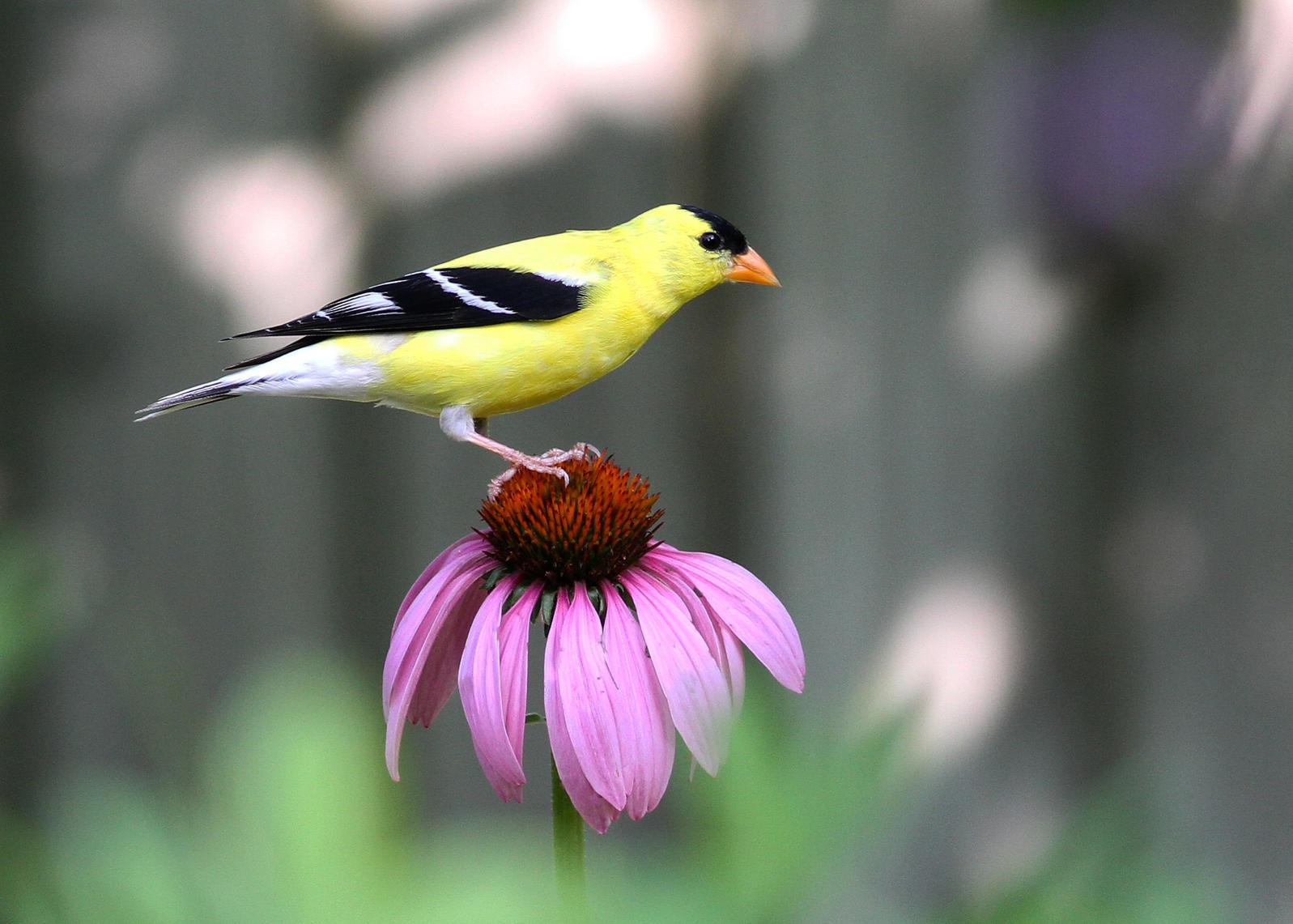 American Goldfinch on a Purple Coneflower. Will Stuart