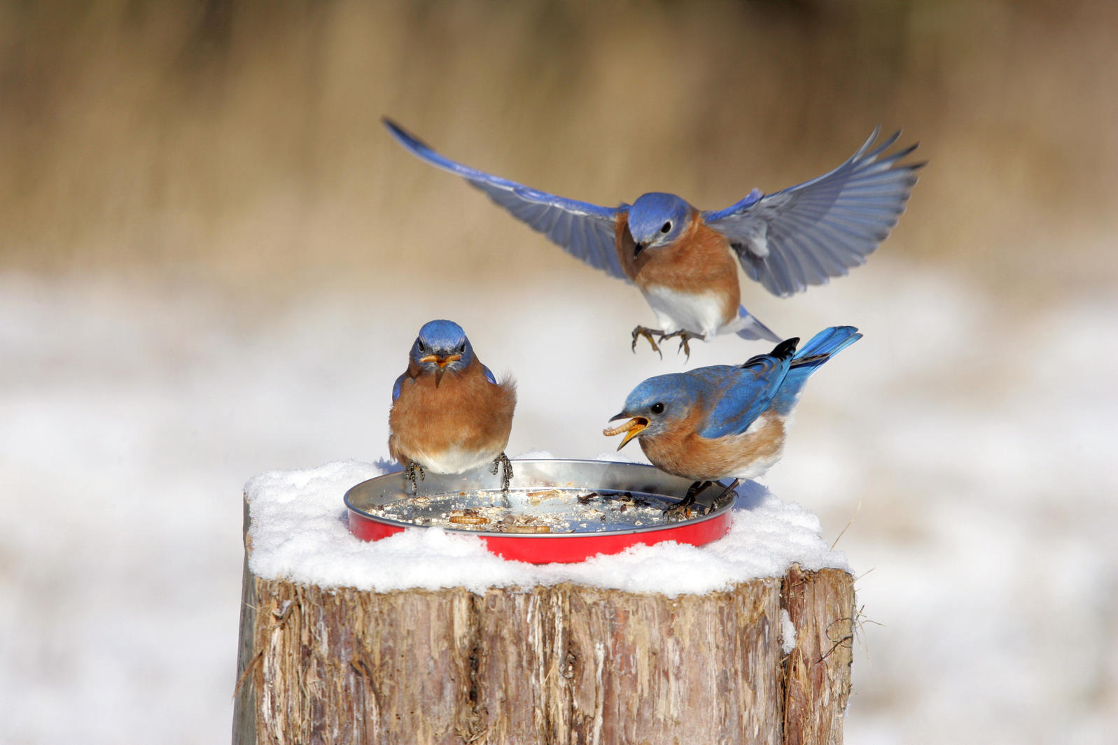 Three adult male Eastern Bluebird (Sialia sialis) feed on mealworms at garden feeder in snow, U.S. Credit: S & D & K Maslowski/Minden Pictures/AP Images