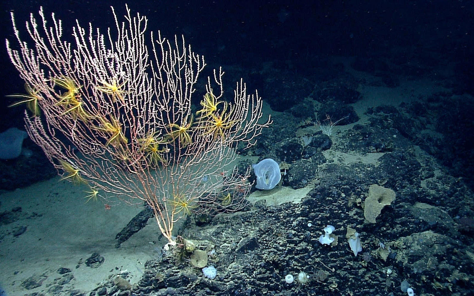 Deep-water corals in the Northeast Canyons and Seamounts Marine National Monument can take a century or more to grow. NOAA/AP