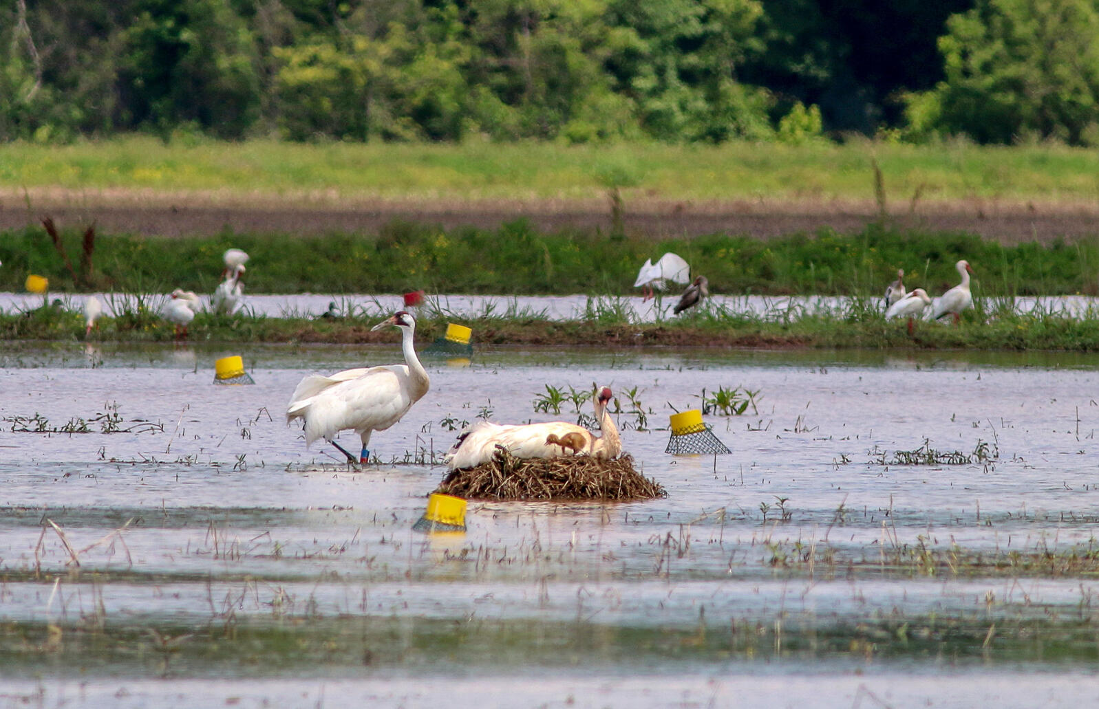 Whooping Crane L8-11 (left) and mate L7-11 on nest with newly hatched LW1-17 in Avoyelles Parish, Louisiana, April 2017. Eva Szyszkoski/Louisiana Department of Wildlife and Fisheries via AP