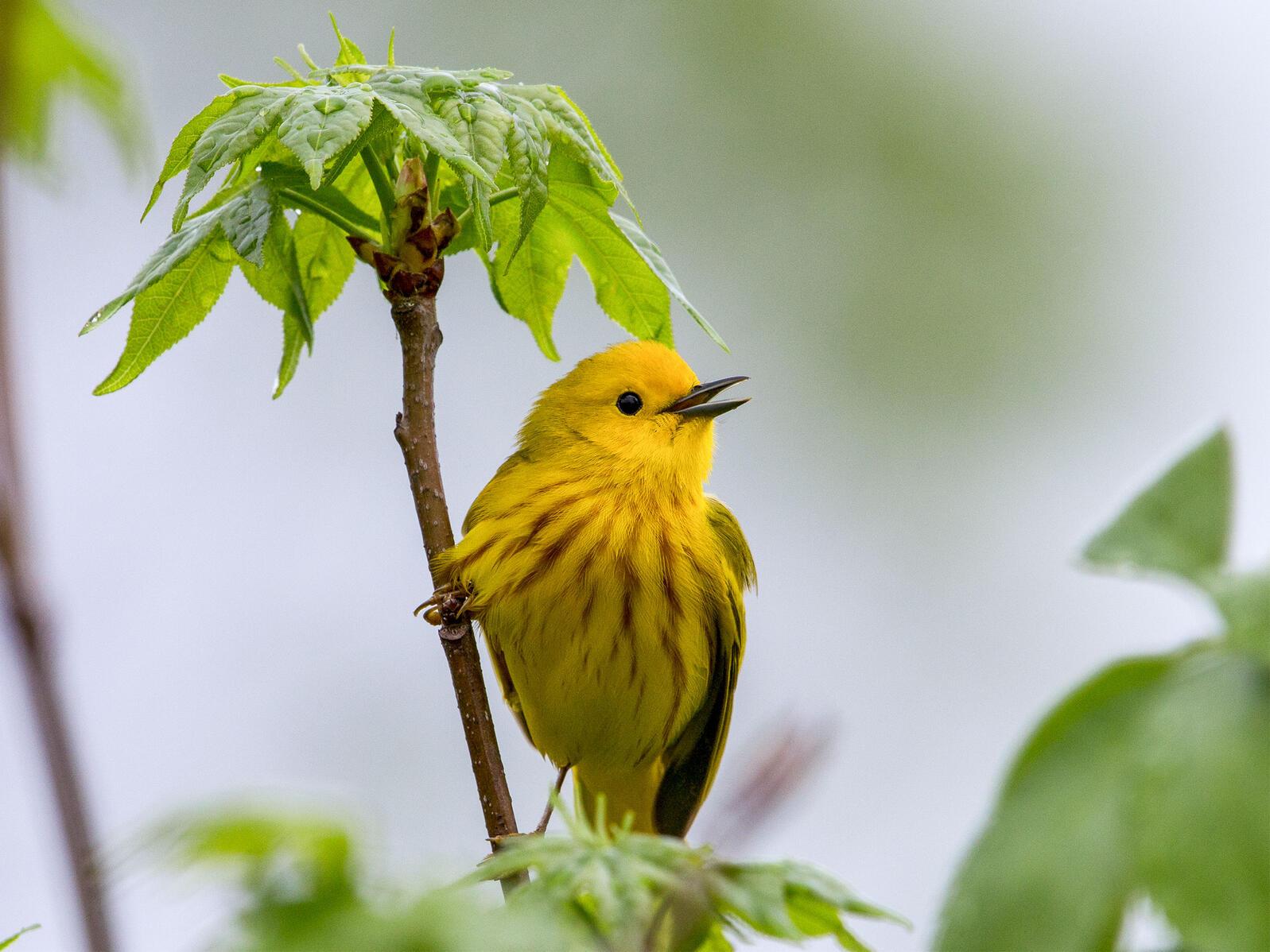 Yellow Warbler. Gary Robinette/Audubon Photography Awards