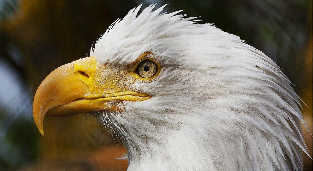 Bald Eagle. Bald Eagle. Rick Lott/Audubon Photography Awards