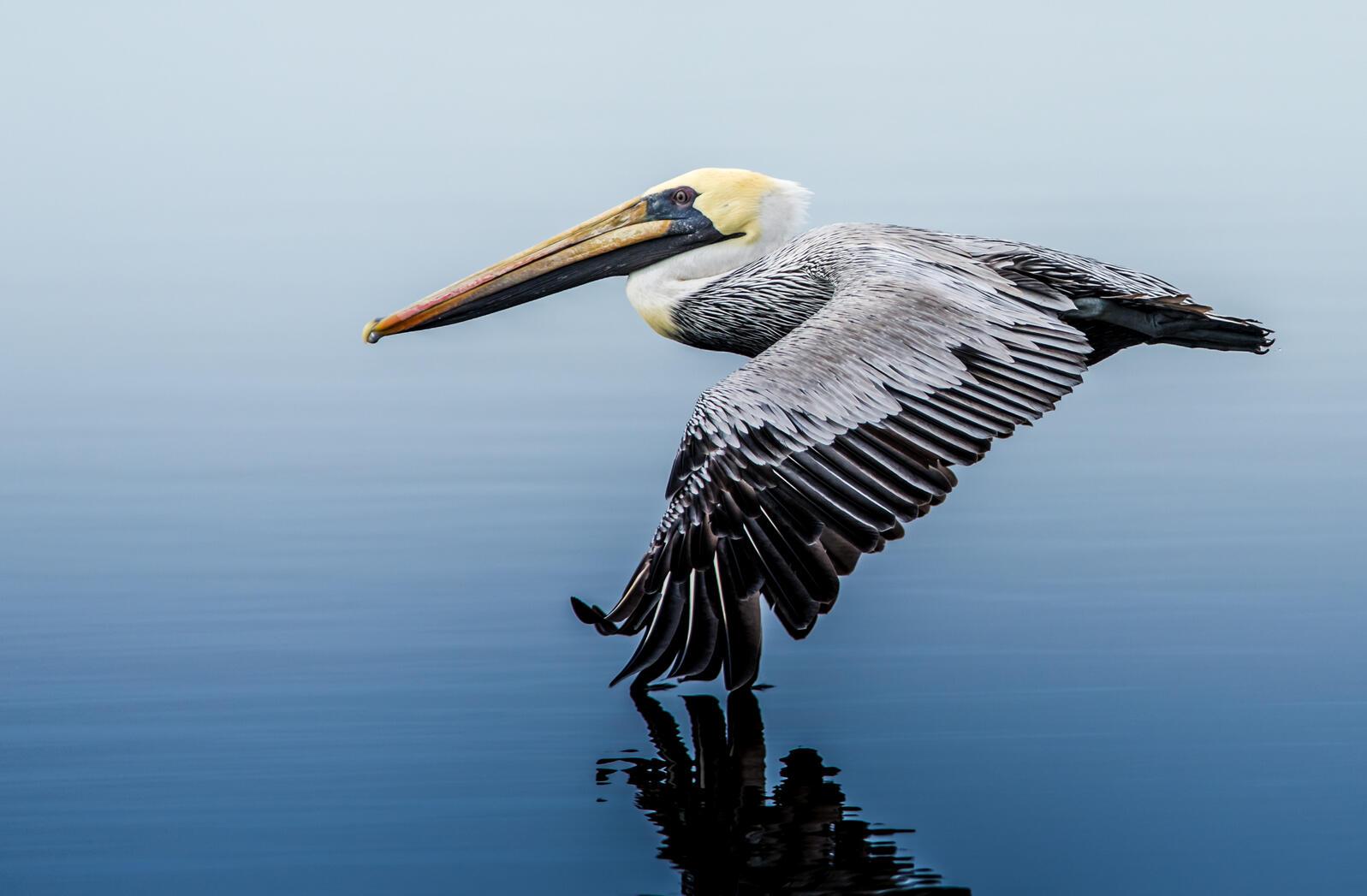 Brown Pelican. Brown Pelican. Franklin Abbott/Audubon Photography Awards