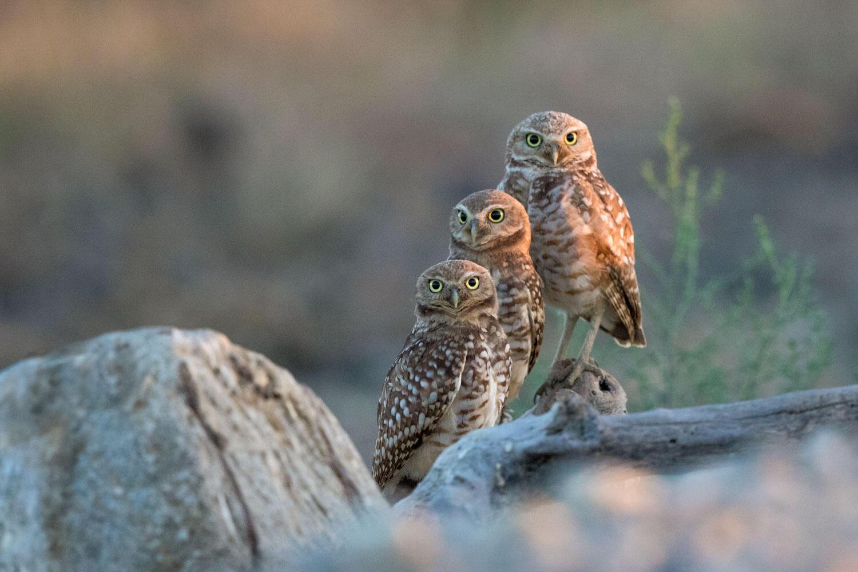 Burrowing Owls. Ann Kramer/Audubon Photography Awards