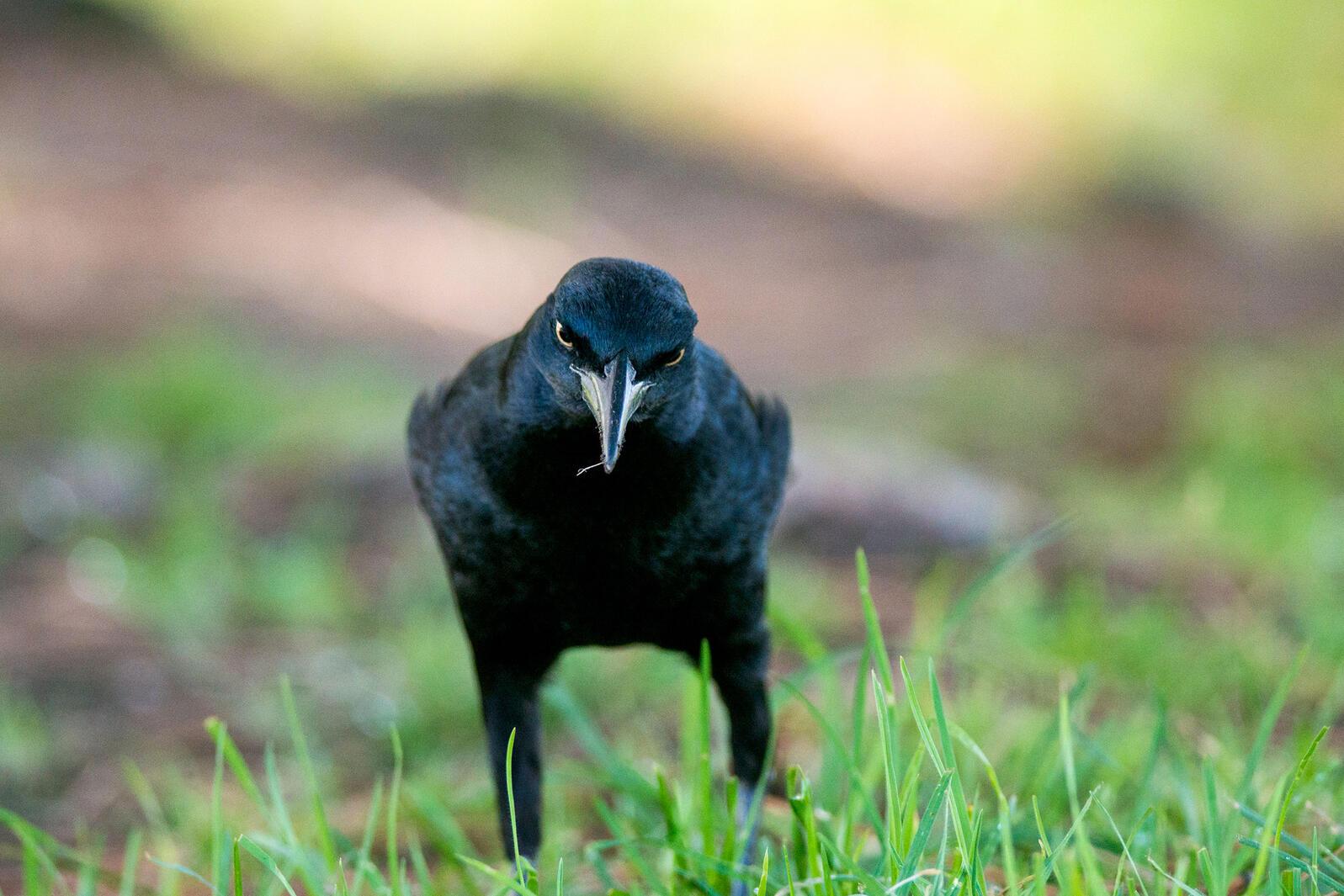 Great-tailed Grackle. Sandrine Biziaux Scherson/Audubon Photography Awards