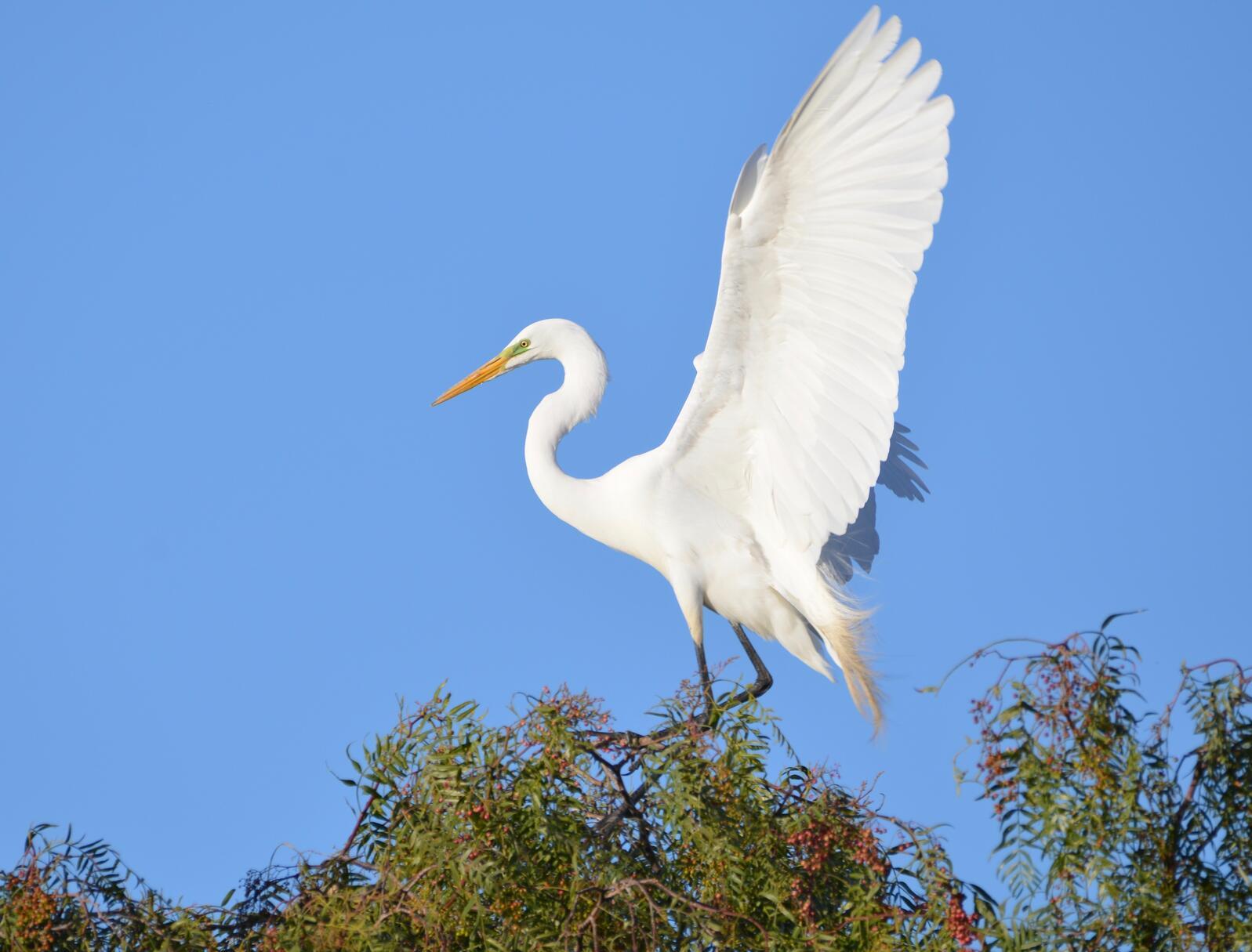 Great Egret. Great Egret. Marie Kiviat/Audubon Photography Awards