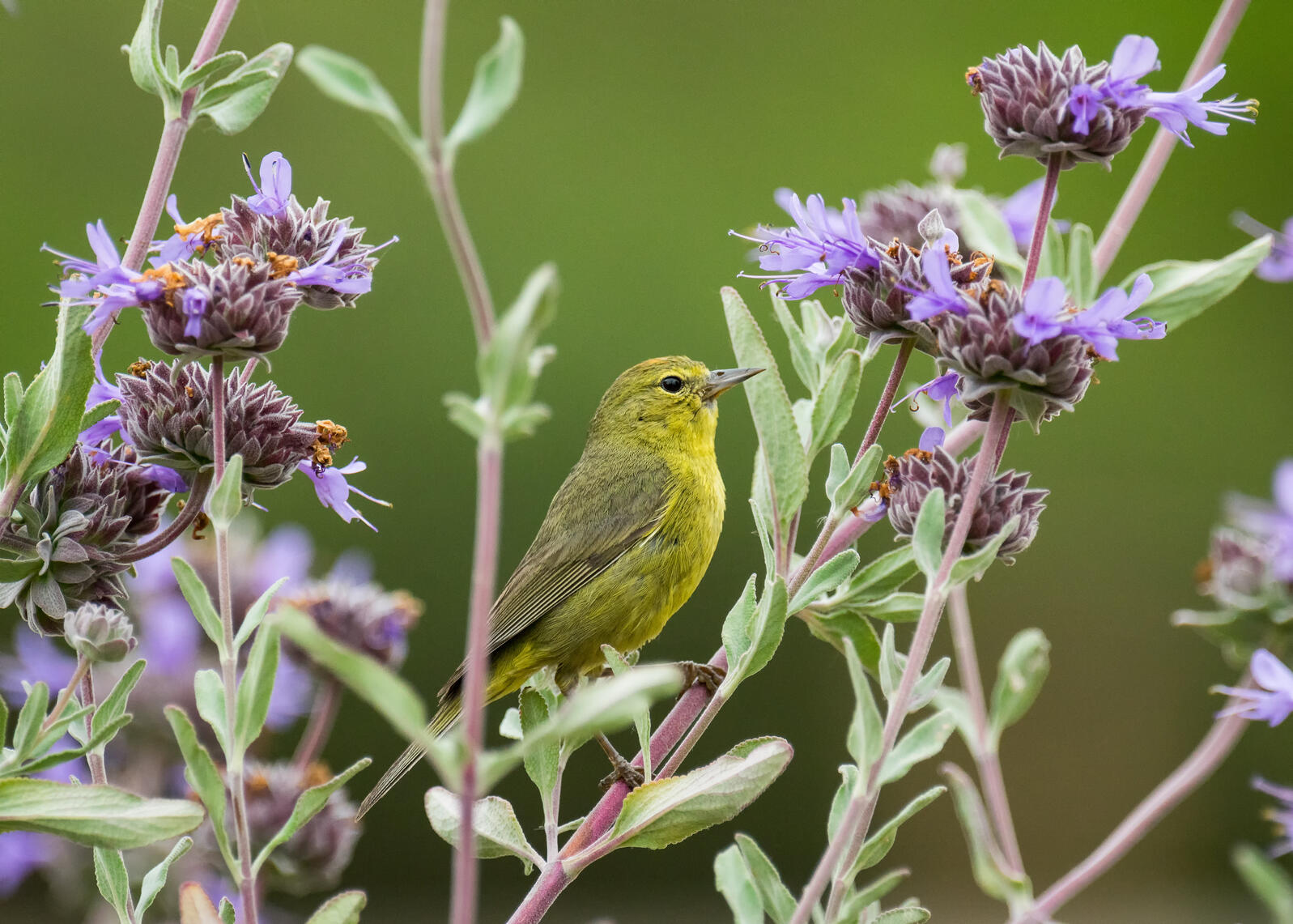 Orange-crowned Warbler. Orange-crowned Warbler. Devin Grady/Audubon Photography Awards