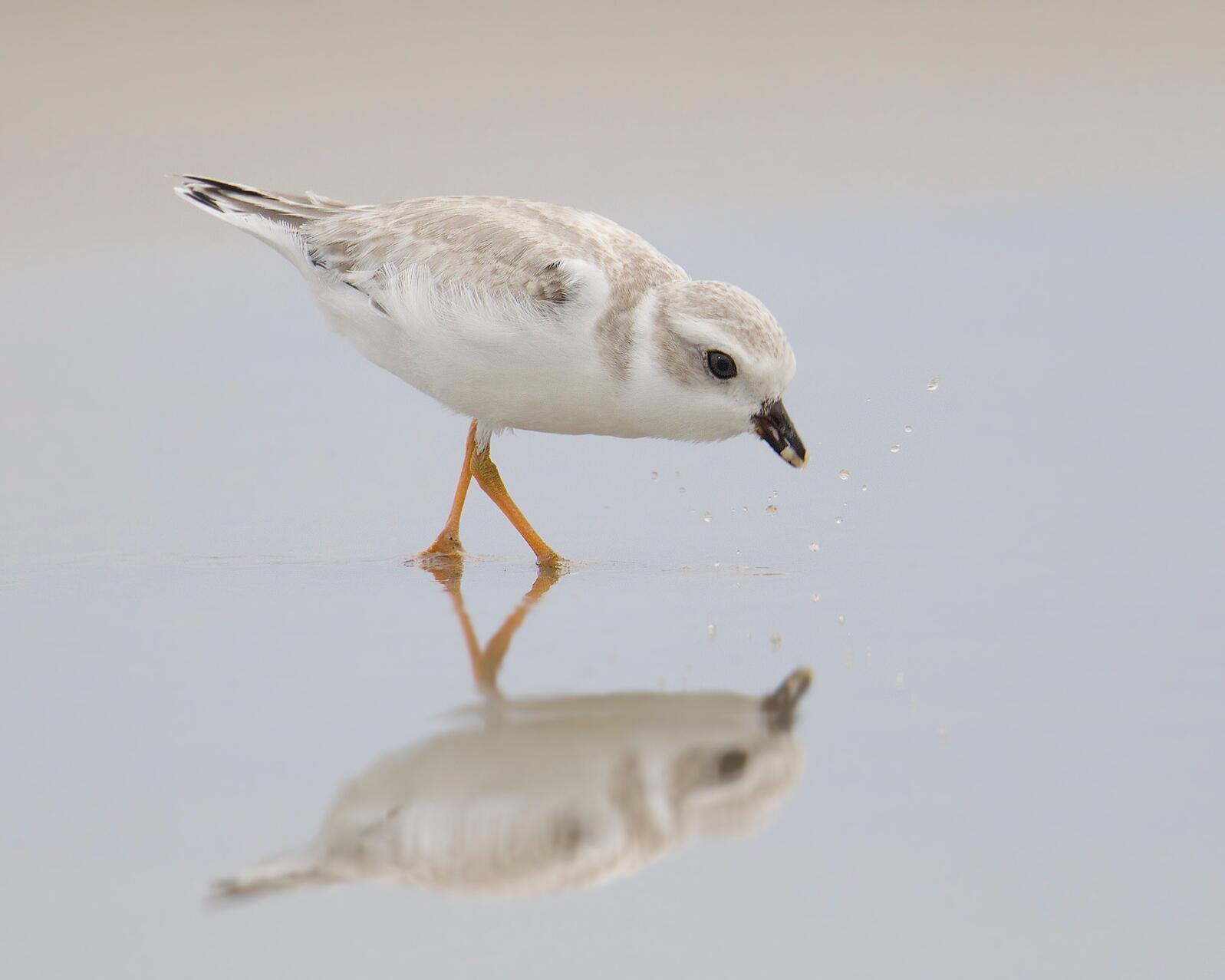 Piping Plover Kimberley Caruso/Audubon Photography Awards