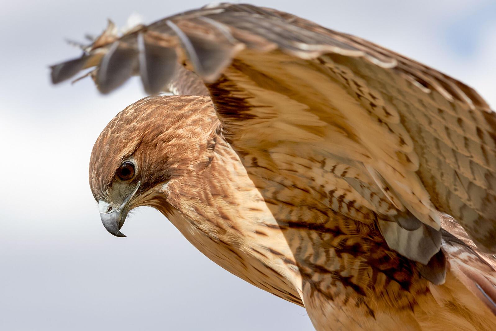 Red-tailed Hawk. Michael O'Shea/Audubon Photography Awards