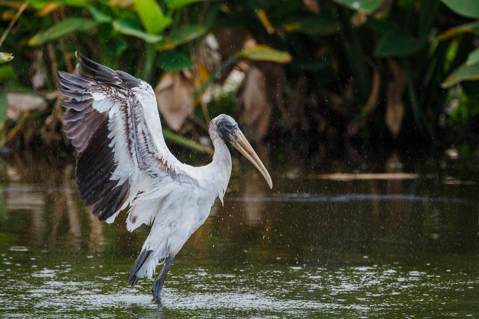 Wood Stork. Wood Stork. Lorraine Minns/Audubon Photography Awards