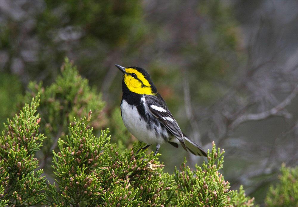 Golden-cheeked Warbler. Steve Baranoff/Audubon Photography Awards