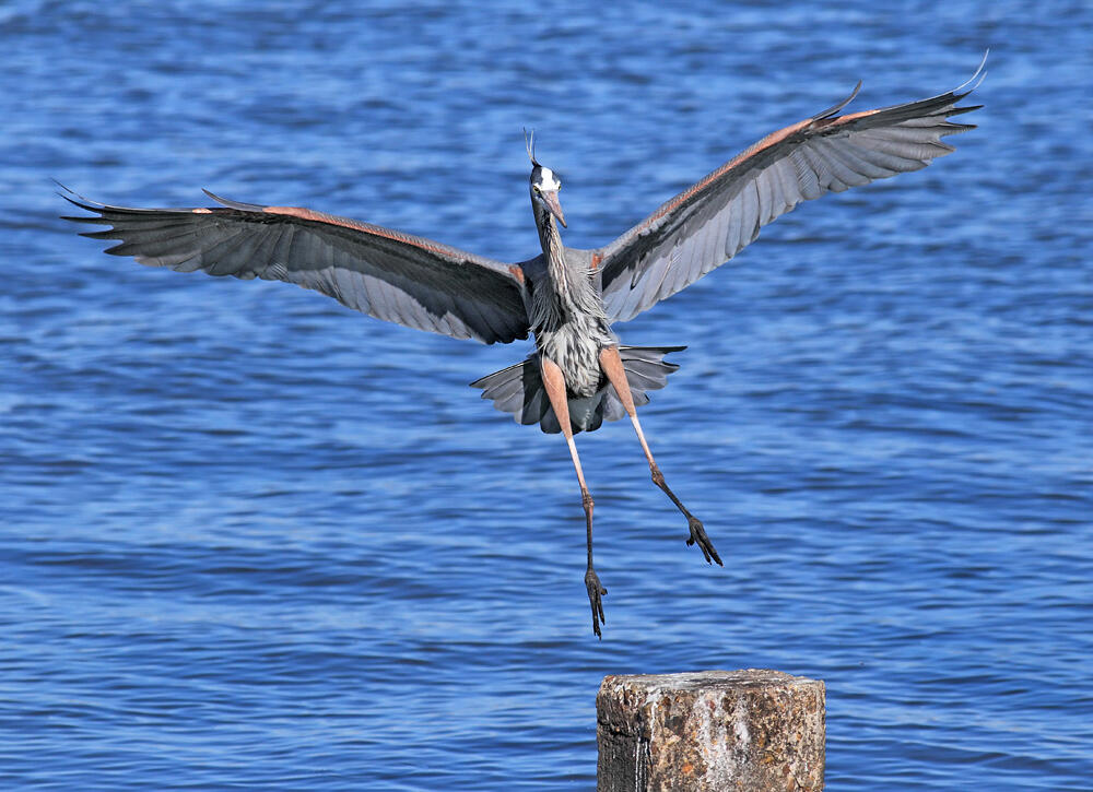 Great Blue Heron. John Phillips/Audubon Photography Awards