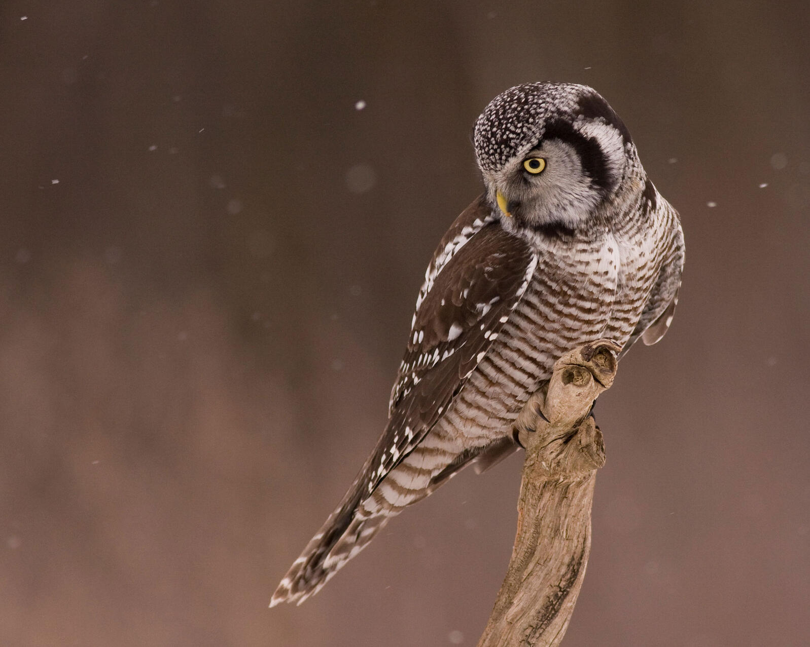 A Northern Hawk Owl (like the one pictured above) showed up in Washington state in early January. Alberto Lopez/Audubon Photography Awards