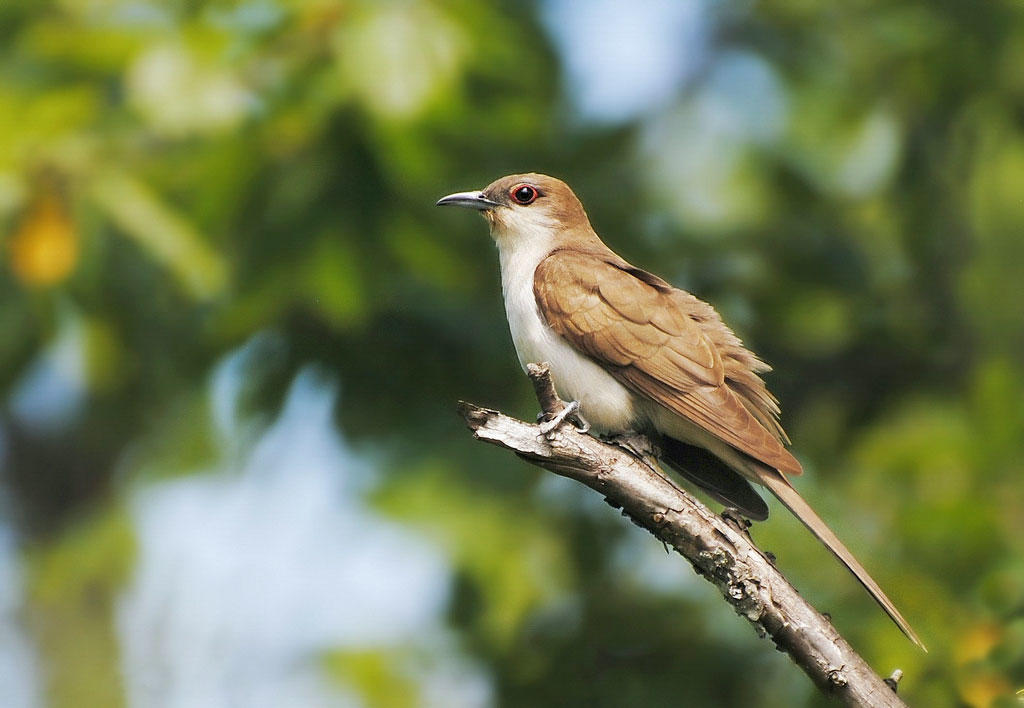 Black-billed Cuckoo. Shayna Hartley/Audubon Photography Awards