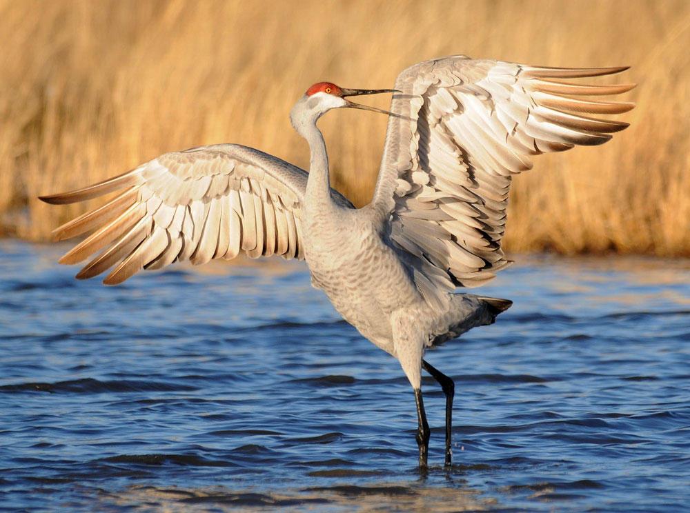 Sandhill Crane. Rolland Swain/Audubon Photography Awards