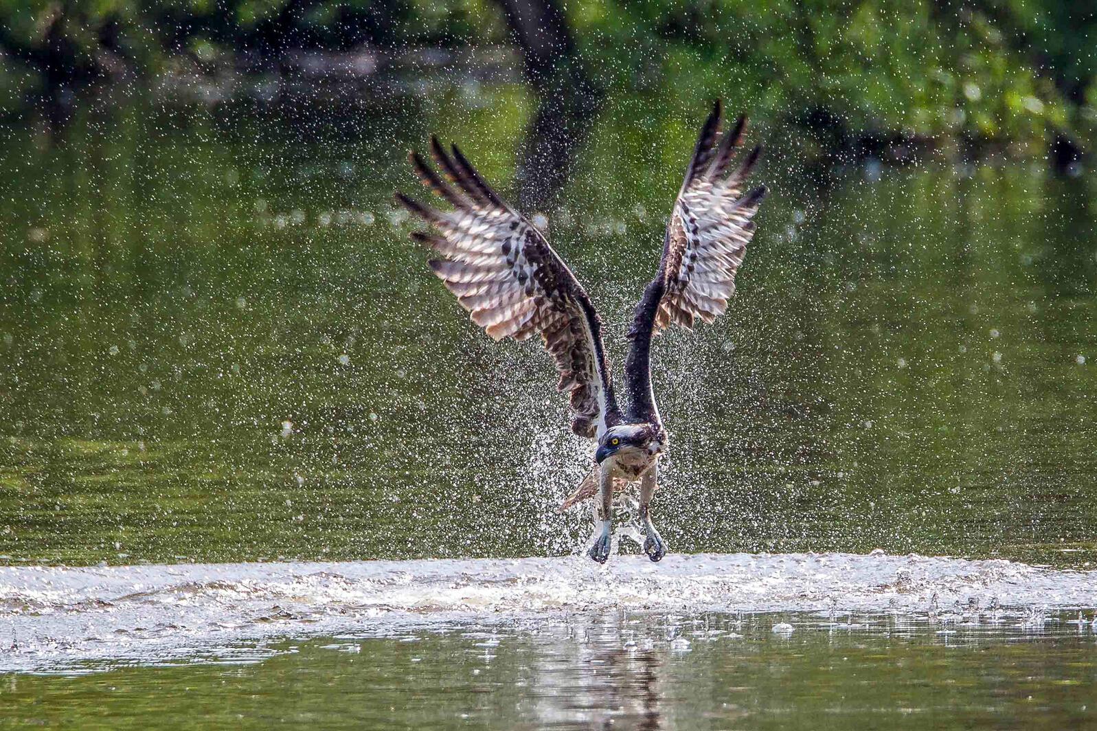 Osprey. Kurt Wecker/Audubon Photography Awards