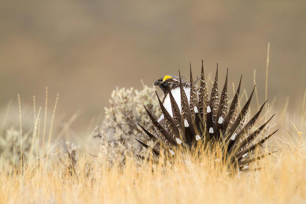 Greater Sage-Grouse. Ronan Donovan/Audubon Photography Awards