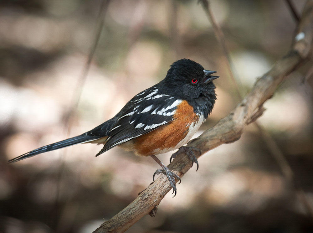 The Spotted Towhee, above, and the Eastern Towhee were once considered the same species, called the Rufous-sided Towhee. They've since been split into two separate species. Virginia Short/Audubon Photography Awards