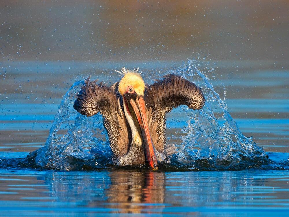 Brown Pelican. Donald Quintana/Audubon Photography Awards