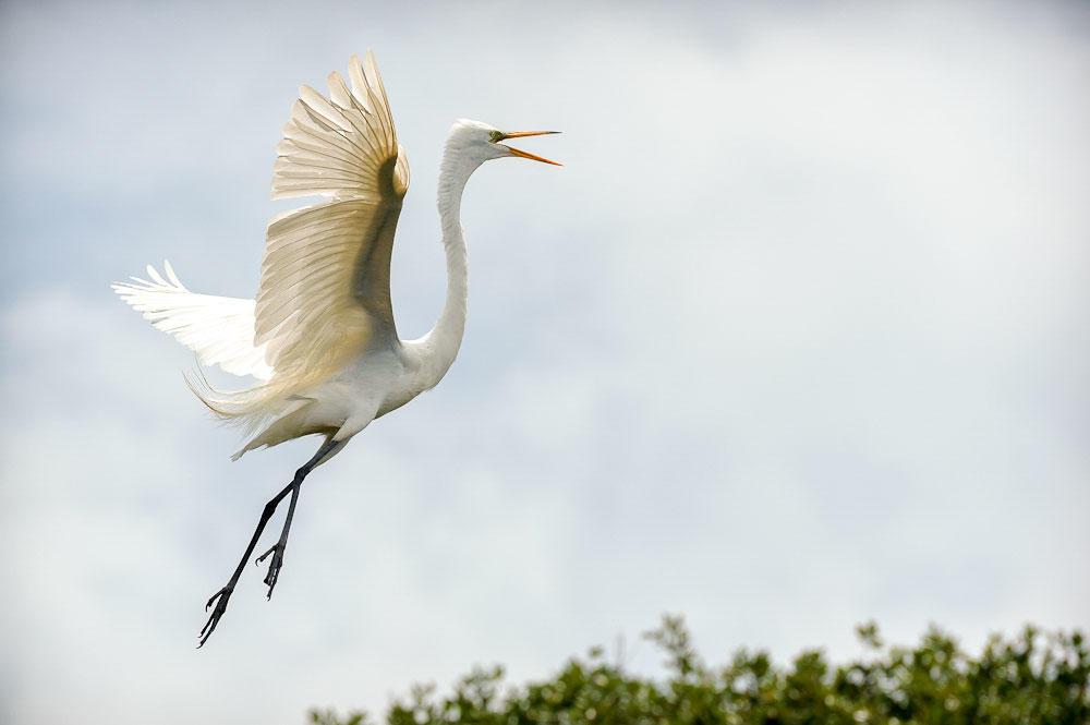 Great Egret. Rona Schwarz/Audubon Photography Awards