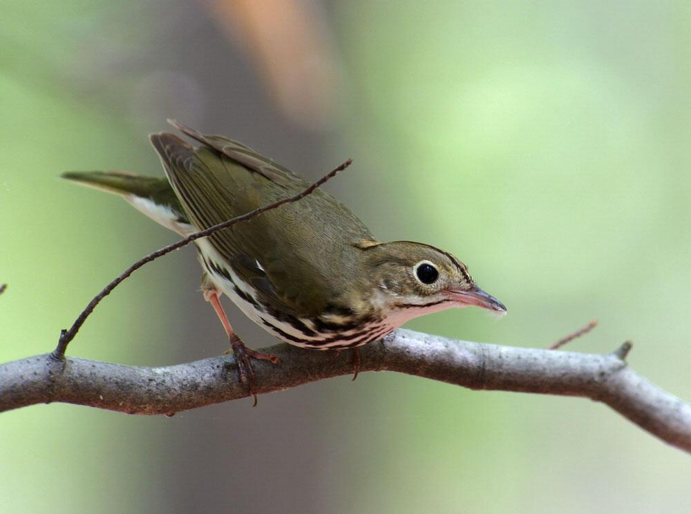 Ovenbird. Megumi Aita/Audubon Photography Awards