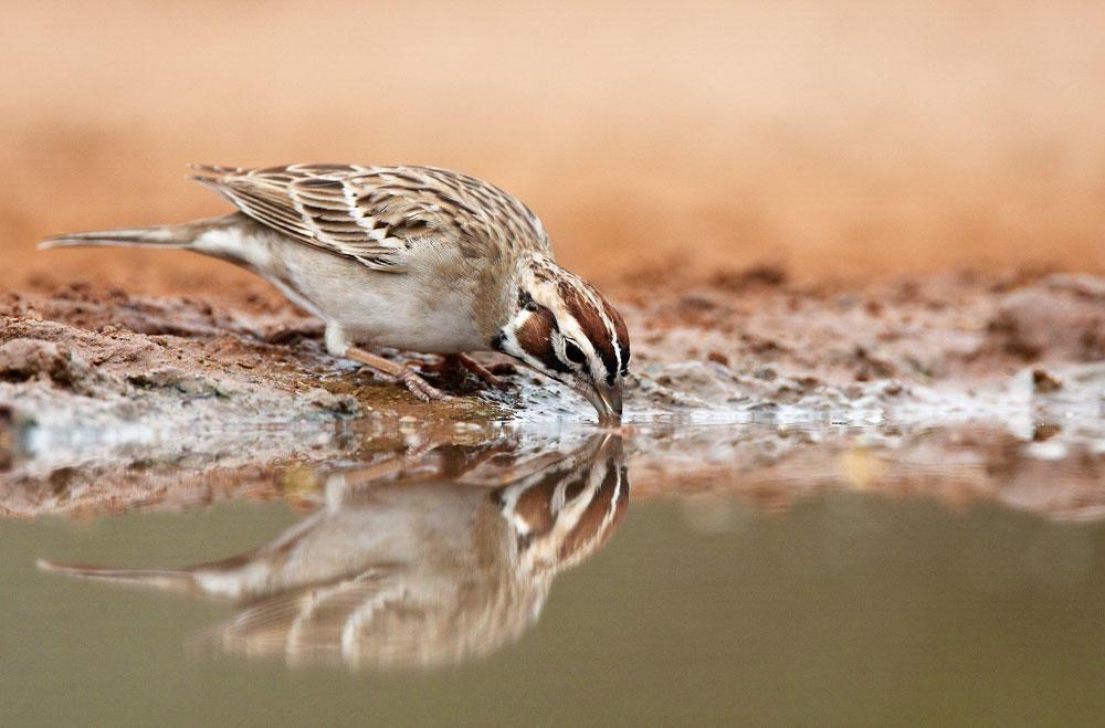 Lark Sparrow. Barbara Baird/Audubon Photography Awards