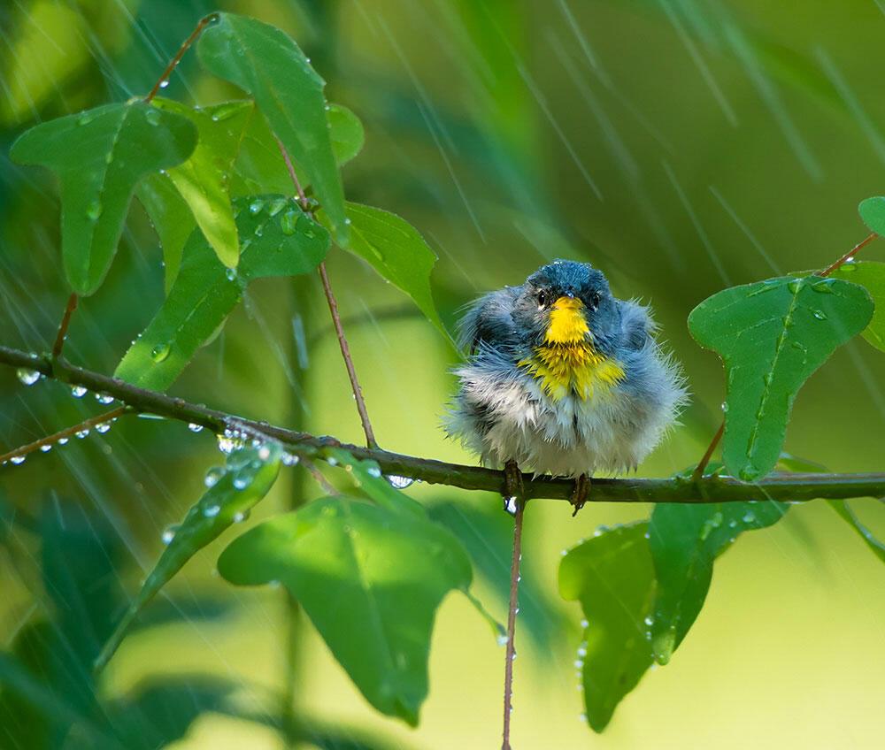 Northern Parula. Tara Tanaka/Audubon Photography Awards