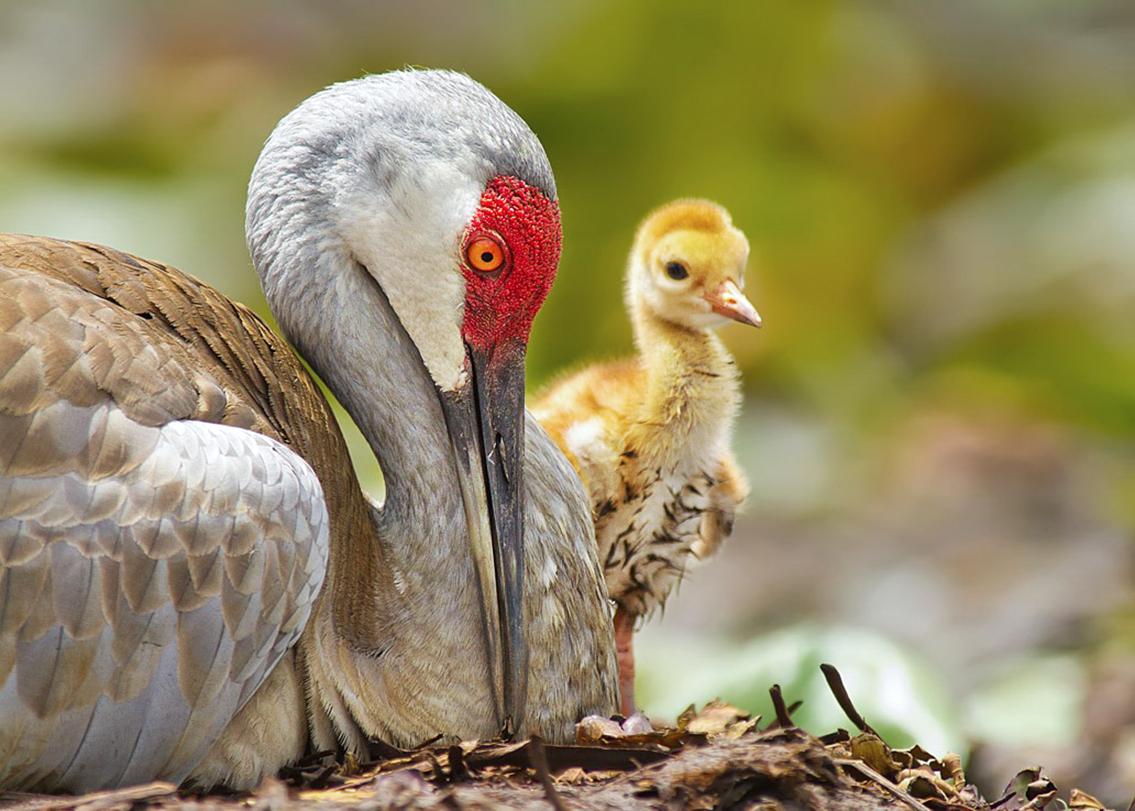 Sandhill Cranes. Scott Helfrich/Audubon Photography Awards