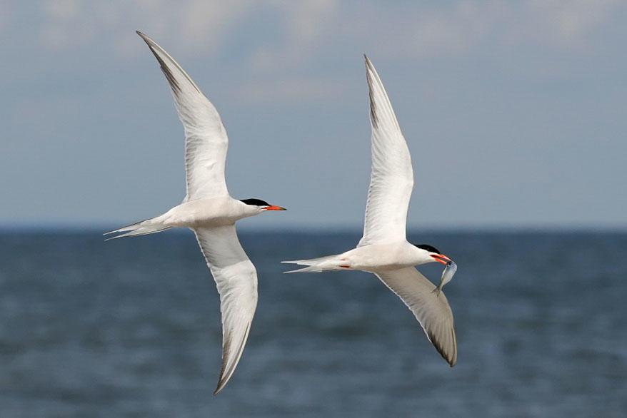 Common Terns. Meryl Lorenzo/Audubon Photography Awards