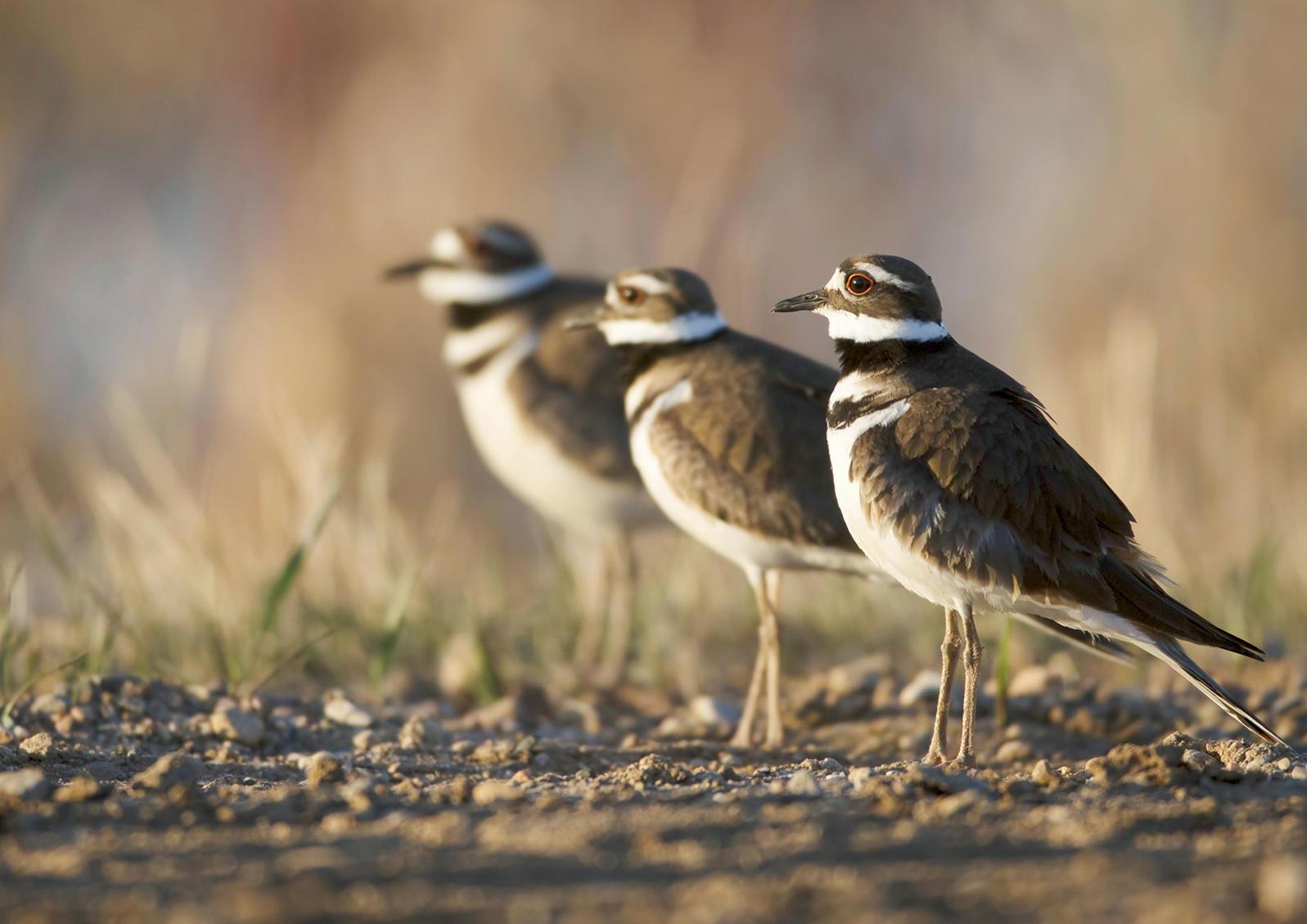 Killdeer. Harry Colquhoun/Audubon Photography Awards