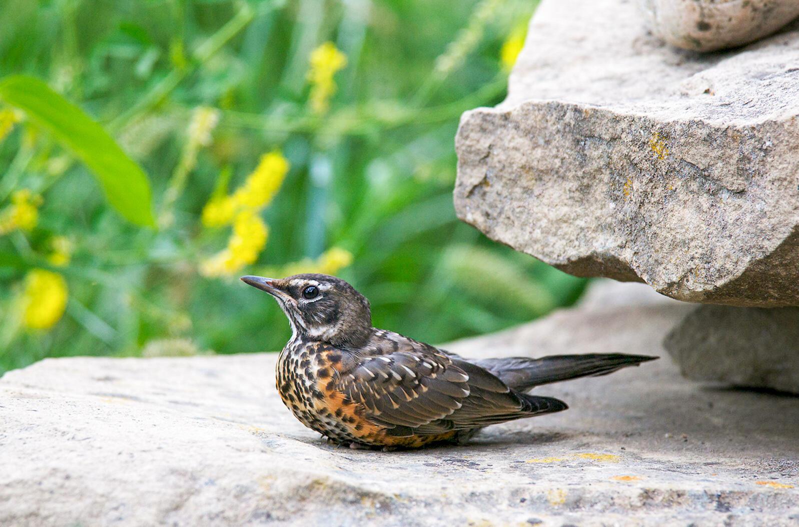 American Robin fledgling. Jeanette Tasey/Audubon Photography Awards