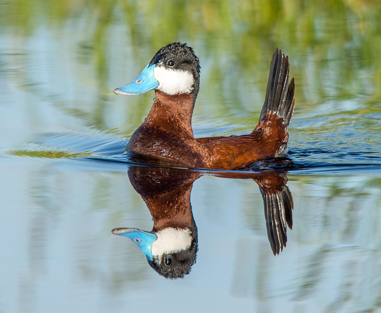Ruddy Duck Joseph Mahoney/Audubon Photography Awards
