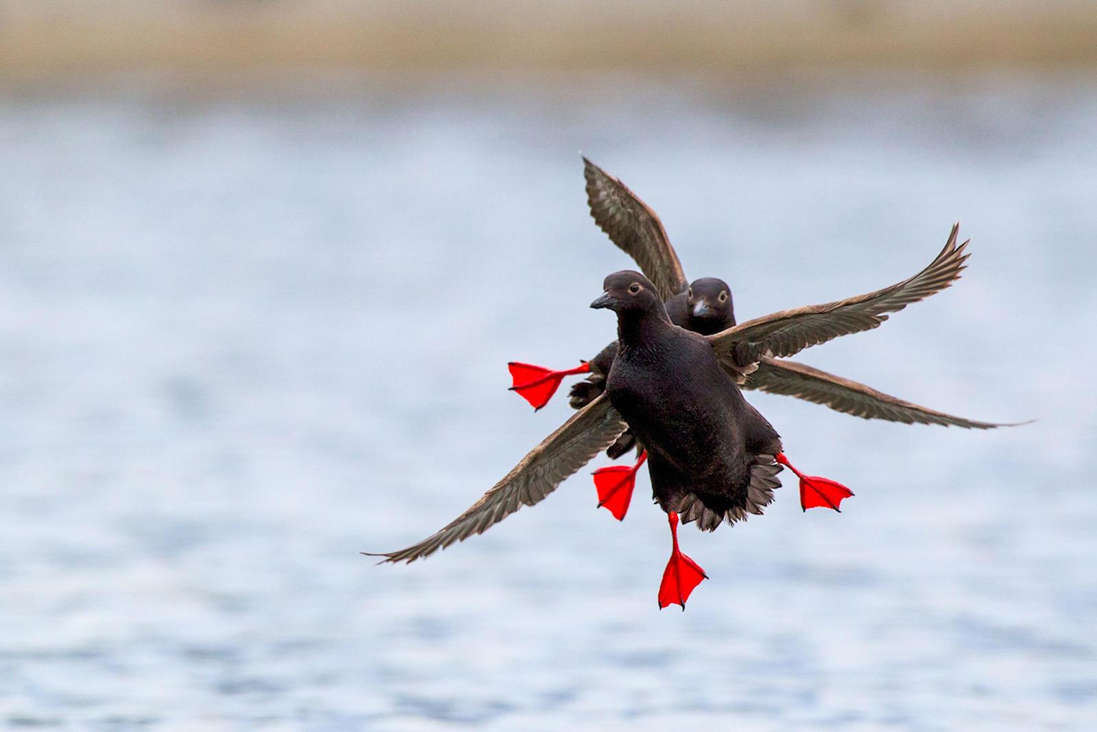 Pigeon Guillemots. Ken Archer/Audubon Photography Awards
