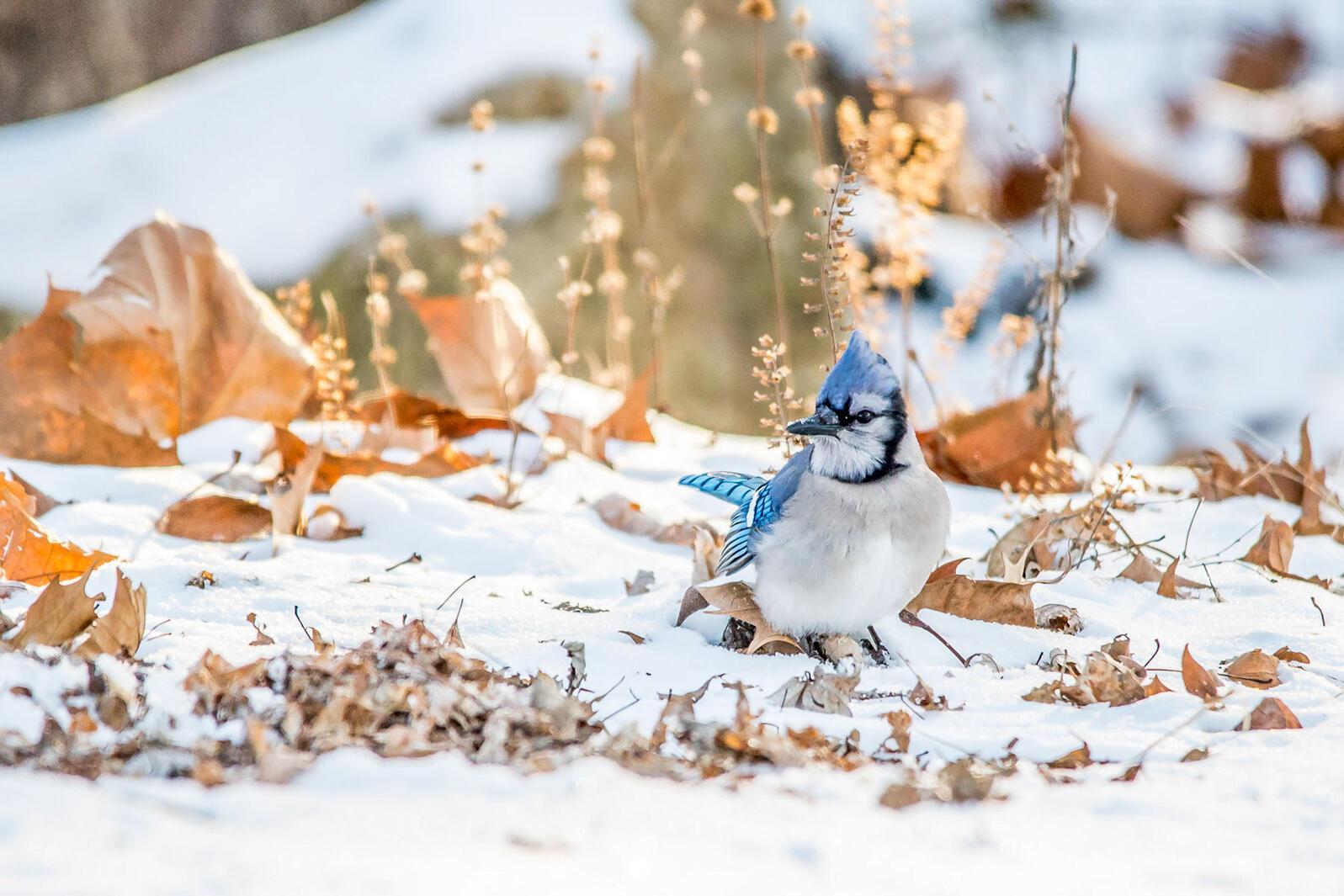 """Los arrendajos azules y otras aves encuentran más alimento invernal en jardines """"desprolijos""""."""