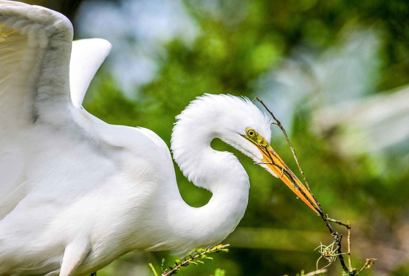 Great Egret. Mary Giraulo/Audubon Photography Awards