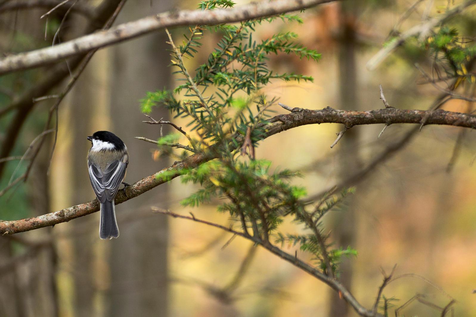 Black-capped Chickadee. Prabu Vasan/Audubon Photography Awards