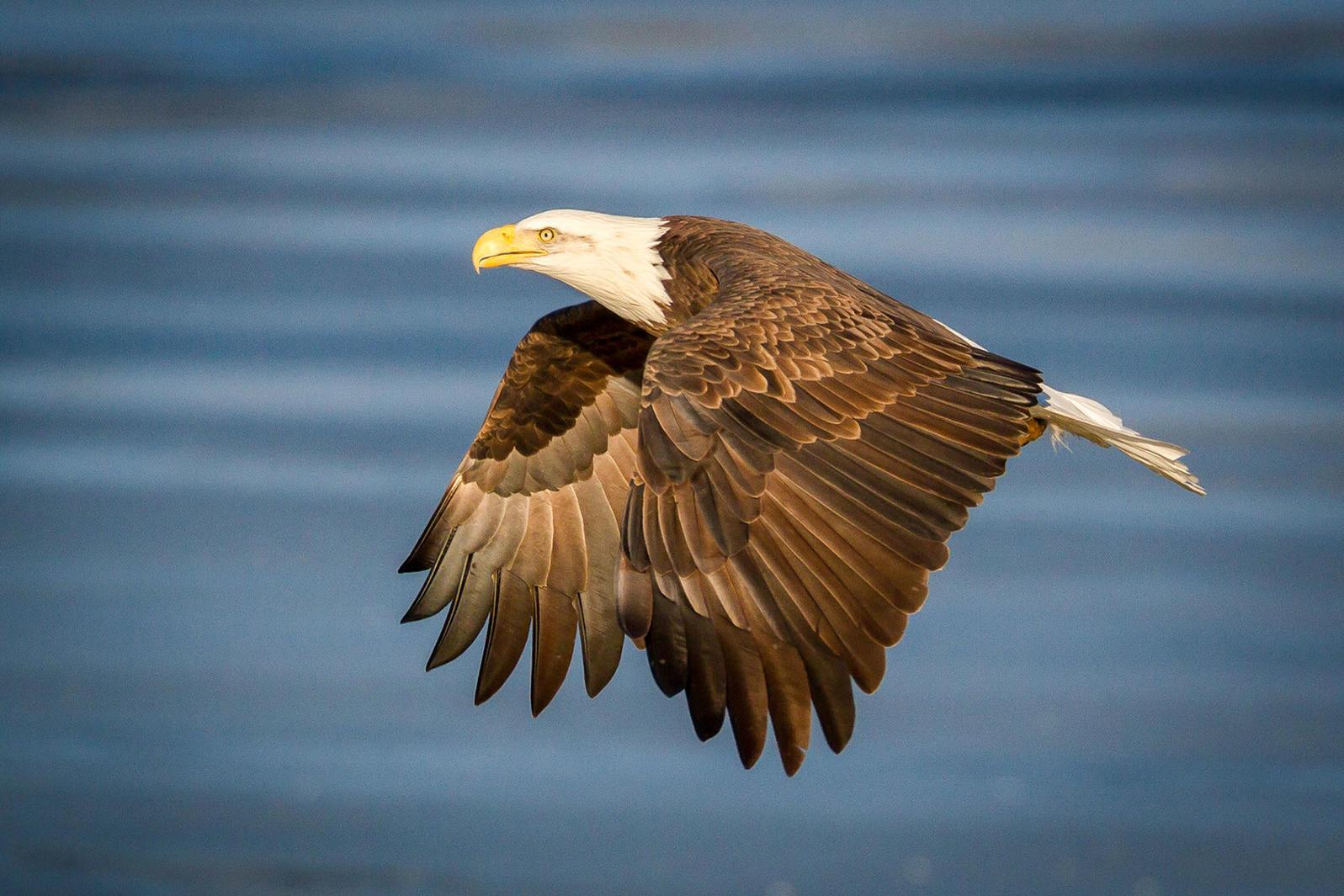 Bald Eagle. Ramkumar Subramanian/Audubon Photography Awards