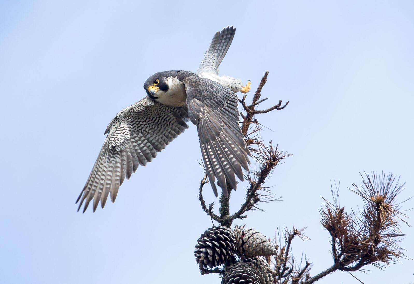 Peregrine Falcon. Richard Derevan/Audubon Photography Awards