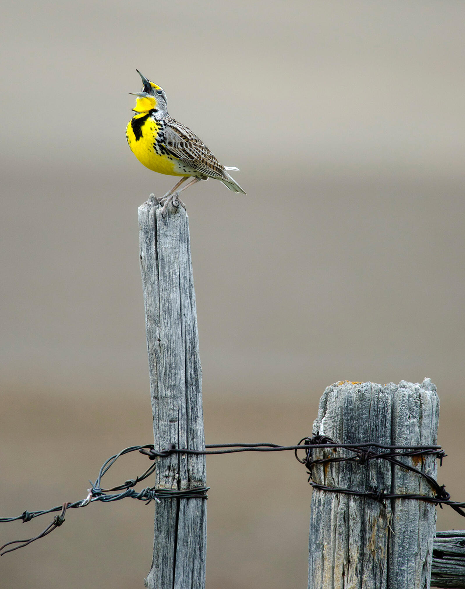 Western Meadowlark Robert Harwood/Audubon Photography Awards